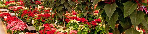 8 keer sfeer verhogende planten voor de kerst